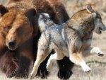 Bear Chasing Wolf