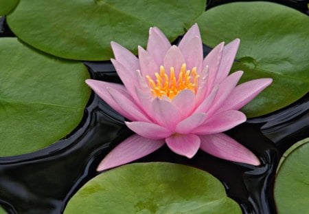 Lotus flower flowers nature background wallpapers on desktop lotus flower water lotus pink lily pads mightylinksfo
