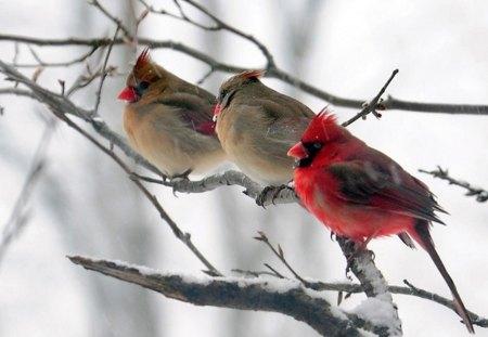 Cardinals birds animals background wallpapers on - Winter cardinal wallpaper ...