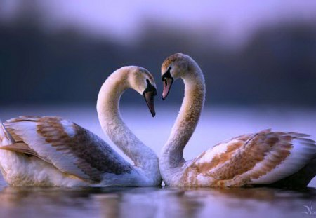 Pair of geese - in, bird, love, style