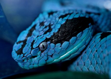 Snake - beautiful, close-up, blue, snake