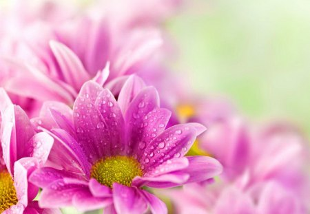 Delicate pink flowers - fresh, flowers, wet, pink, nice, nature, freshness, bouquet, beautiful, lovely, drops, daisies, soft, pretty, gerbera
