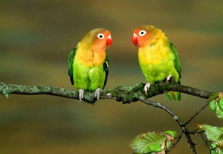 Inseparable Birds - colorful, lorikeets, birds, parrots, animals, feathers