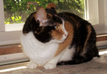 Cricket--A Calico Kitty Cat - moth, calico, window, kitty cat, kitty, calicos, cats, fe1ine