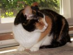 Cricket--A Calico Kitty Cat