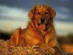 Golden Retriever In Hay