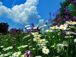 Clouds converse with delicate daisies