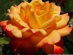 I am going to dedicate this lovely and beautiful rose to my sweet mom..