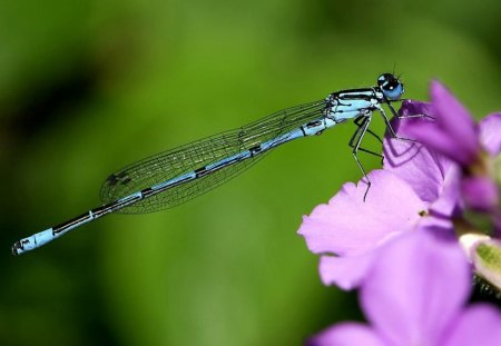 KISS FROM A DRAGONFLY - wings, dragonflies, flowers, gardens, insects