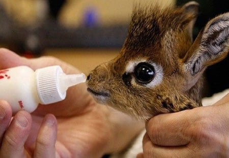 dik dik - giraffe-like, animal, cute, similar to giraffe