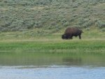 Grazing American Bison