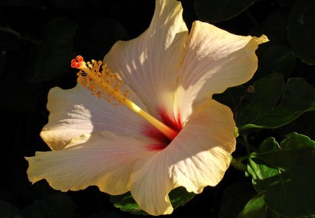 Beautiful Hibiscus Flowers Nature Background Wallpapers On