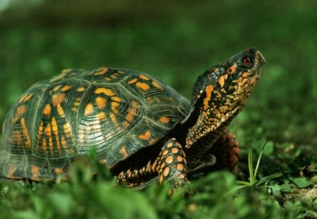 Cute Green Turtle - green, animals, cute, turtles