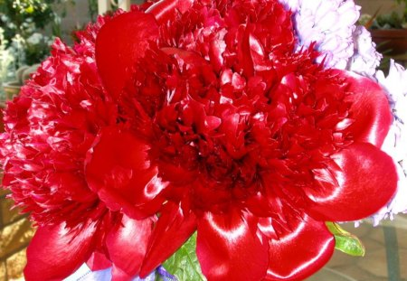Red In Center Stage - peony, red, photography, garden, blooms