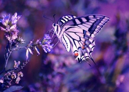 beutiful purple buttefly - beautiful, butterfly, purple, animals