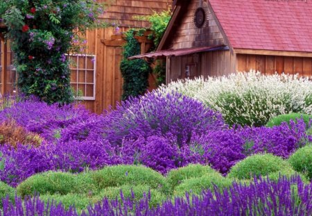 A cottage for Jean - purple, green, cottage, flowers, lavender, white, yard