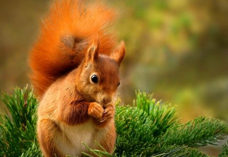 Squirrel with a bushy tail - playing, squirrel, lovely, tail, boron, adorable, bushy, sweet, cute, tree, pine, summer