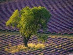 Isolated Tree in Lavender Field, Baronniers, France