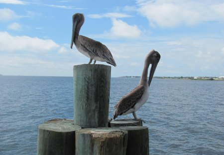 pelicans on the pier - birds, pelican, ocean pier, pier