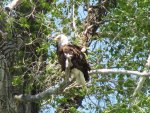 Eagle at Yellowstone
