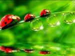 ladybird beetles in my