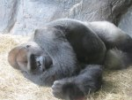 Sleepy Gorilla on a hot day