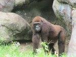 Gorilla in Command