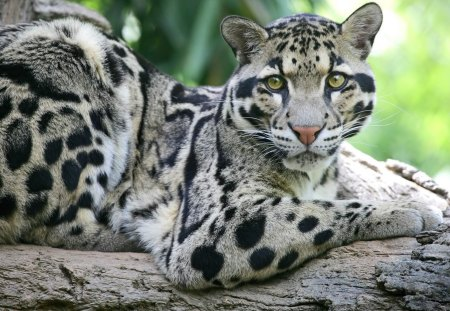 Beautiful Clouded Leopard - big cats, leopards, animals, exotic wildlife