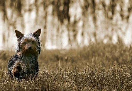 Cute Little Yorkie Dogs Animals Background Wallpapers On Desktop