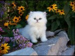 White Fluffy Kitten