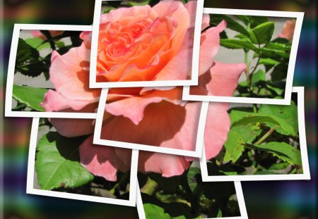 ♥ Lovely Rose ♥ - frame, rose, roses, summer, abstract, summer rose, collage, framed rose