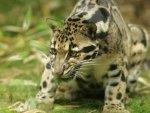 Hauntint Jaguar