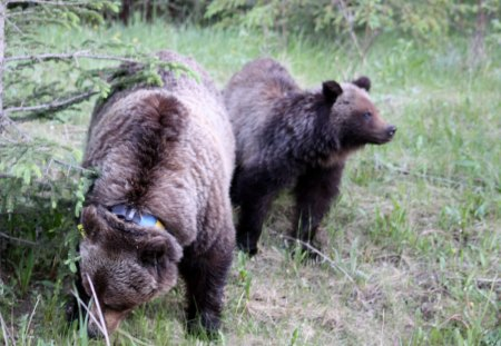 Bears at Lake Louise trip - bears, green, brown, grass