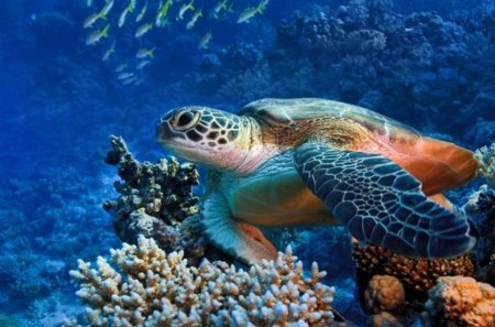 Red sea diving - coral, water, turtle, fish