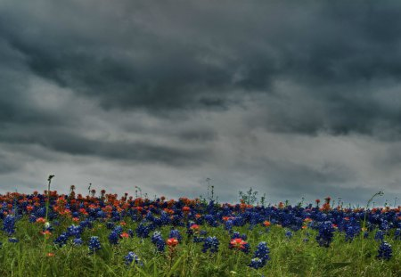 Field of Bluebonnets & Indian Paintbrush
