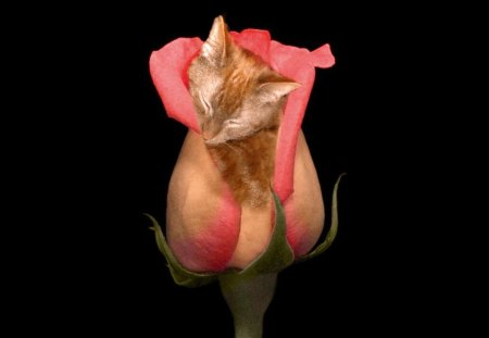 Boobie Rose - flower, cat, rose, cats
