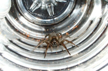 Wolf Spider in Water Bottle - wolf spider, bug, bottle, spider
