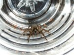 Wolf Spider in Water Bottle