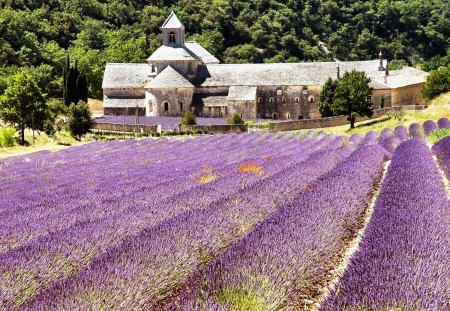 Fields of Lavender - cool, nice, lovely, grasses