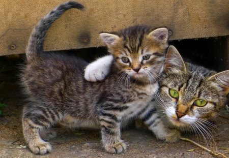 That S My Boy Cats Animals Background Wallpapers On Desktop