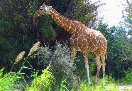giraffe strolls - park, safari, wild animals, giraffe