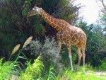 giraffe strolls