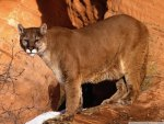 Cougar in the Mountains