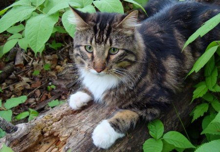 Cat in the woods - forest, feline, woods, cat, log