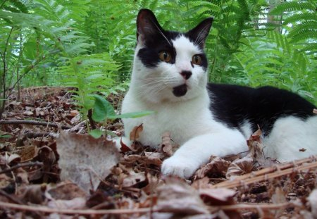 Cat in the woods number 2 - feline, fern, woods, cat, animal, leaf