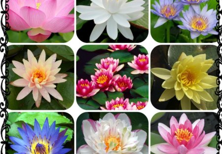 WATER LILIES - pretty, lilies, collage, water