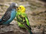 Kissing Parakeets