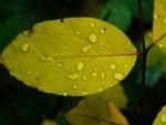 Yellow Leaf with water droplets