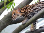 *** Ocelot on a tree ***