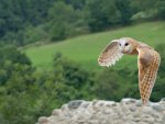 "Barn Owl Flying, ""Bird of the Night"" North American Bird"